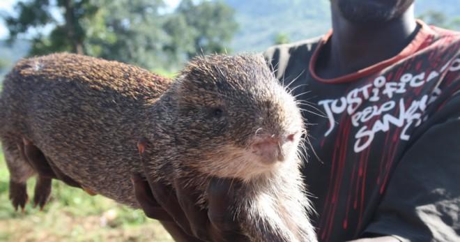 Тростниковая крыса