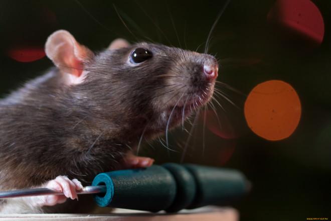 Зрение крыс