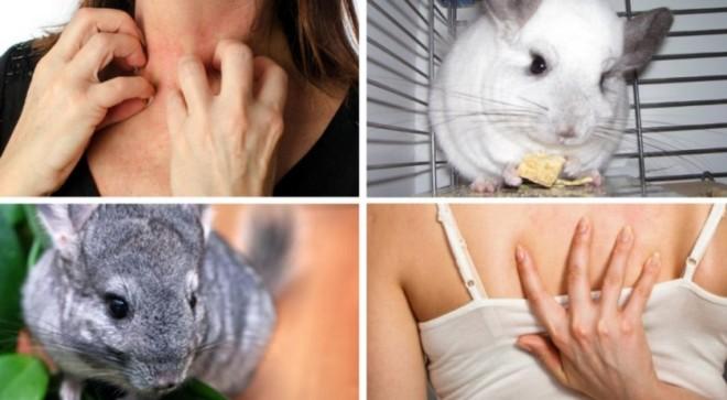 аллергия на шиншилл подборка фото